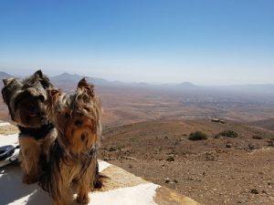 Viaje a Fuerteventura con perros pequeños